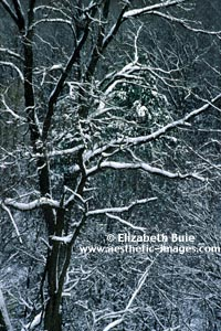 Tree and woods in winter (copyright Elizabeth Buie)